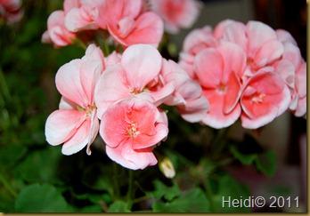 blomster september 2011 017