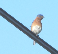 bluebird on wire, Dennis.MA 6.17.12
