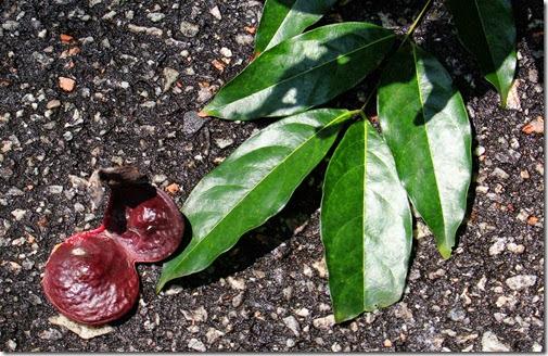 archidendron jiringa