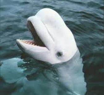 Amazing Pictures of Animals, photo, Nature, exotic, funny, incredibel, Zoo, Beluga or White Whale, Delphinapterus leucas, Alex (17)