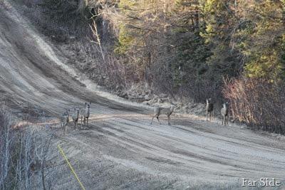 Six deer on Ashleys Road