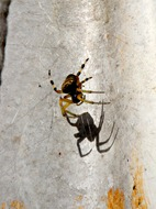 Uma das poucas aranhas que por aqui vi