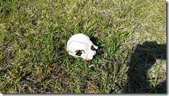Calf skull 1