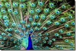 bronx-zoo-peacock%255B4%255D