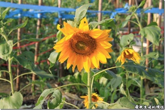 找了半天,只看到這幾株快要枯掉的向日葵。拍個照充一下數。