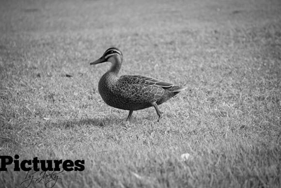 duck-kings-garden-perth-pictures-by-jacky