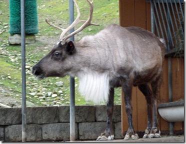 Reindeer Festival 1