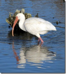 Ibis and his reflection