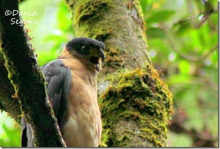 Accipiter bicolor (1)