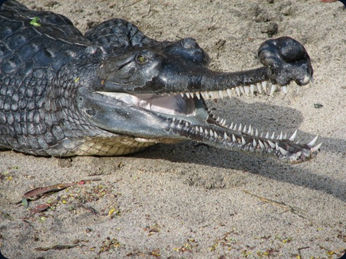 Gharial_at_the_San_Diego_Zoo_(2006-01-03)_(headshot)