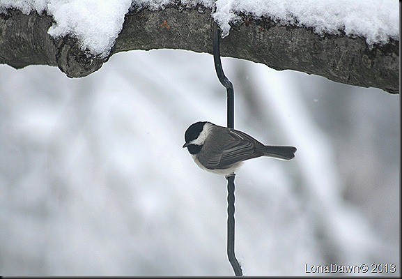 Chickadee_Feb8