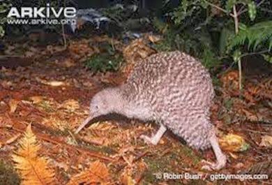 Amazing Pictures of Animals, Photo, Nature, Incredibel, Funny, Zoo, Apteryx, Kiwis, Bird, Aves, Alex (6)