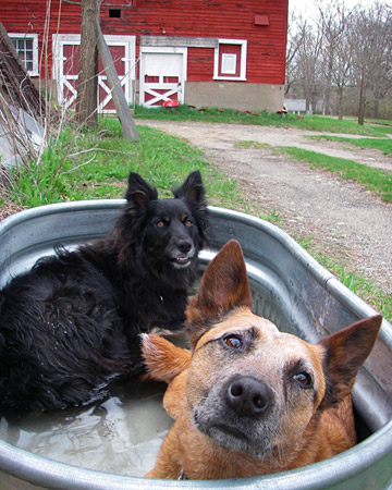 Dogs need access to drinking water for safety but many of them also love to frolic in it as part of their summer fun! Splish Splash!
