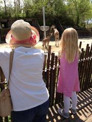 zoo gma- giraffes