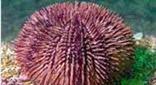 Méditerranée antre des murènes oursin violet