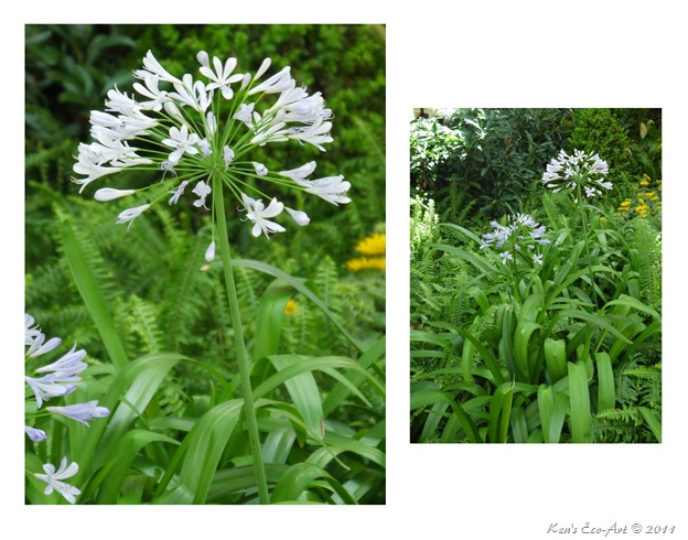 Blue Agapanthus Diptych