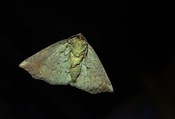 Geometridae : Ennominae : Nacophorini : Amelora oenobreches TURNER, 1919, verso. Umina Beach (New South Wales, Australie), 27 mars 2011. Photo : Barbara Kedzierski