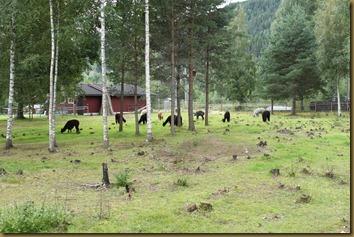 Karantenejenter hos Knapper Alpakka