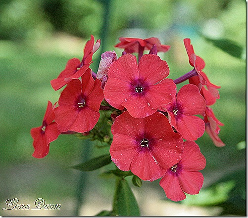 Orange_Perfection2_Phlox