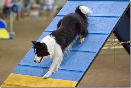 Border Collie agility A-frame