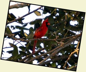 01o - Early Morning Eco Pond - Cardinal