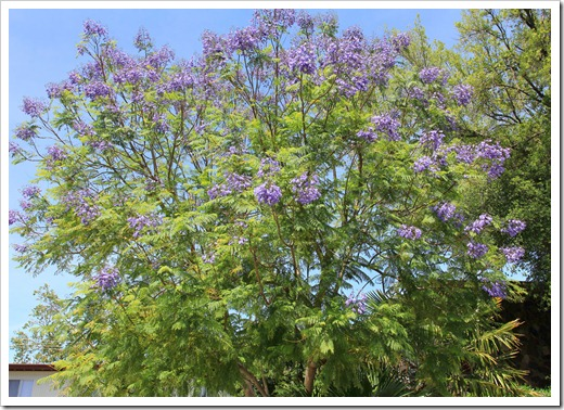 130512_Jacaranda-mimosifolia_02