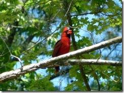 Cardinal natural habitat