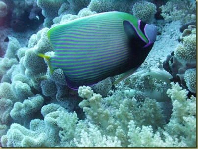 LBS Fish Emperor Angelfish