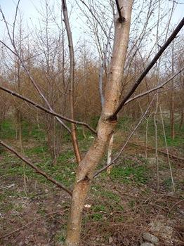 009 korr Betula maximowicziana bark Daniel Grankvist