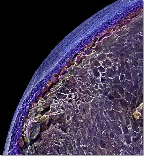 food-electron-micrograph-6