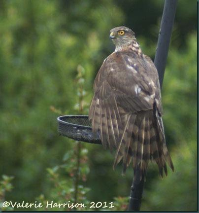 2 sparrowhawk