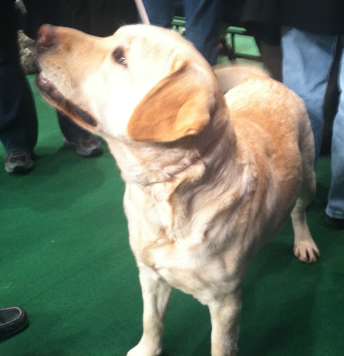 'Eve' is a Labrador Retriever from Massachusetts