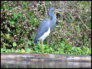 08 - Animals - Tricolored Heron 1