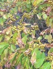 bittersweet vine w unripe yellow berries