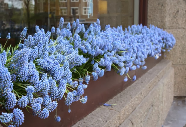 muscari-window-box flirty fleur alicias trip