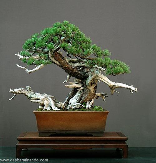 bonsais arvores em miniatura desbaratinando (8)