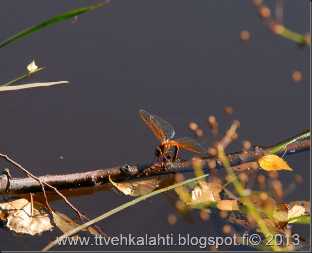 perhonen  sudenkorentoja 146