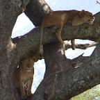 Weitere Löwen in einem Baum © Foto: Ulrike Pârvu | Outback Africa Erlebnisreisen