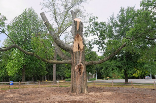 The iconic 145-foot Sugarberry Tree in Kirkwood Park has weathered a lighting strike, rotor wash from a Marine helicopter and more than 150 years of unpredictable St. Louis weather, but the 2012 drought and heat wave were the last straw in its battle to survive. On 6 July 2012, a large portion of the tree gave way. It was paper dry to the core. ANDREW JANSEN / JOURNAL