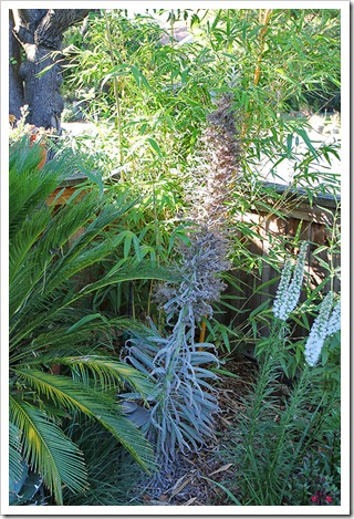110724_echium_wildpretii_01
