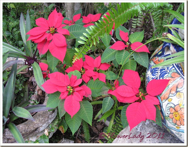 12-16-poinsettia