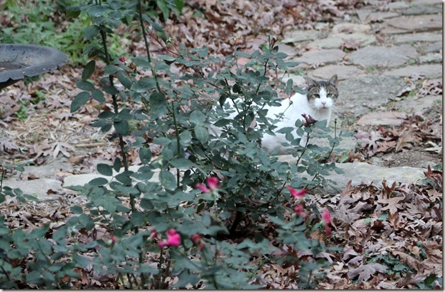 Bailey hiding among the rose bushes