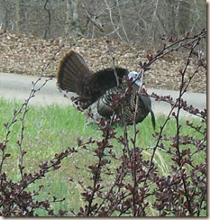Turkey in the Hollow2