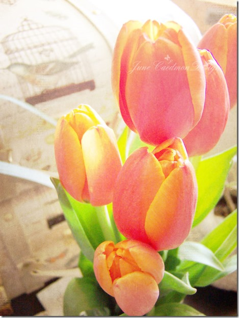 Tulips_happyheart