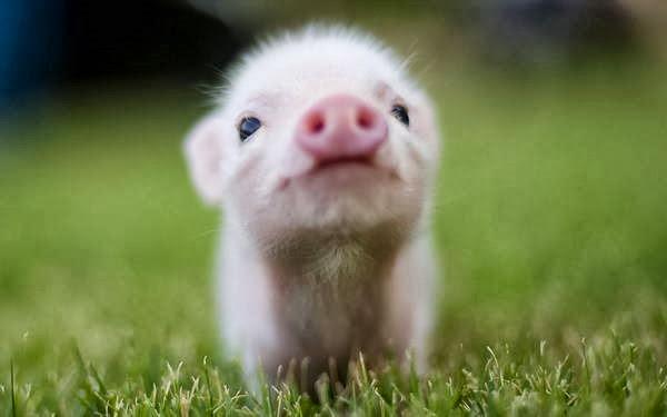 5 Para um porco, é fisicamente imposivel olhar para o céu.