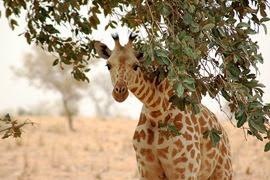 girafe du Niger