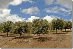 Kishiyama-Olive-Trees-1
