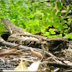 Large-tailed Nightjar02.jpg