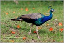 _P6A1718_peacocks_mudumalai_bandipur_sanctuary