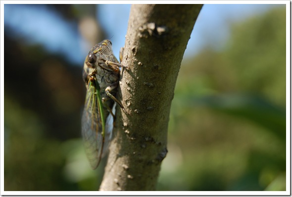 cicada (13)